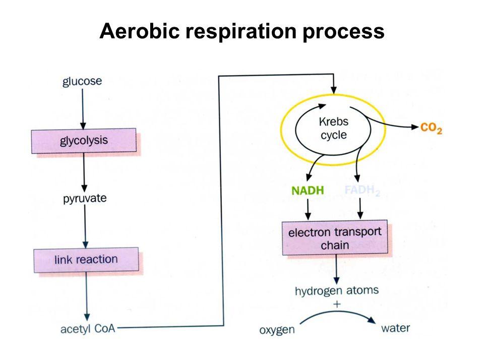 Aerobic respiration process