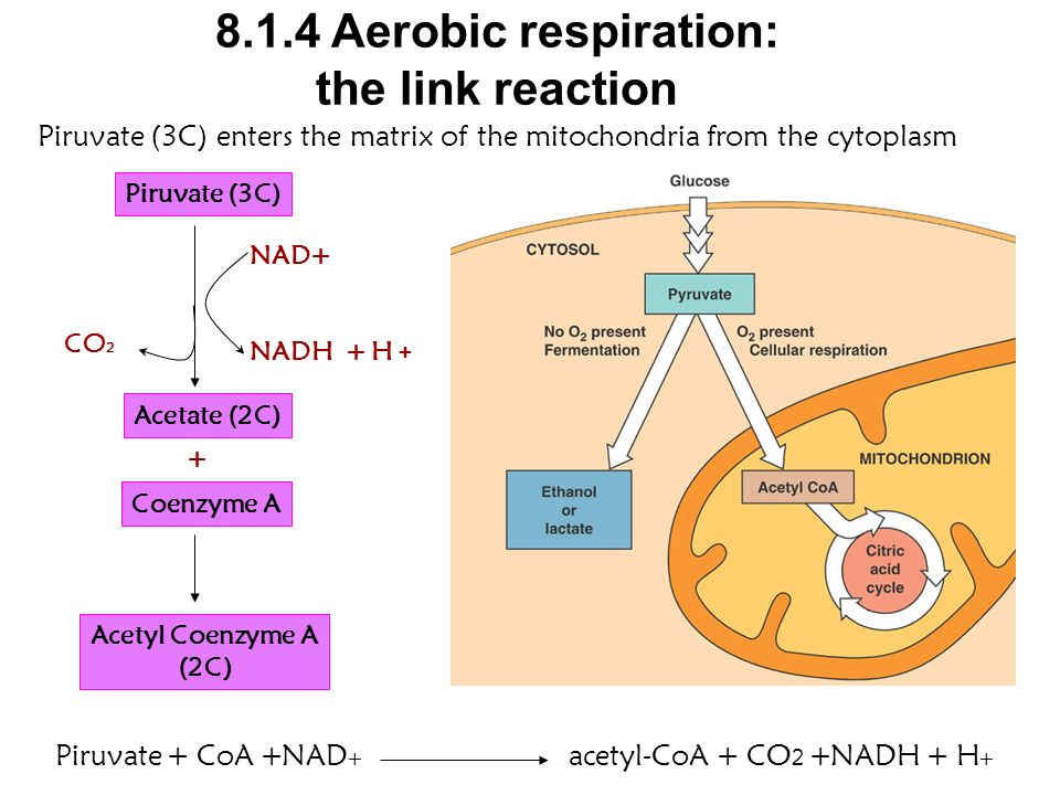 8.1.4 Aerobic respiration: the link reaction