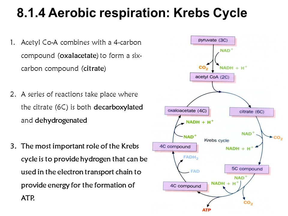 8.1.4 Aerobic respiration: Krebs Cycle