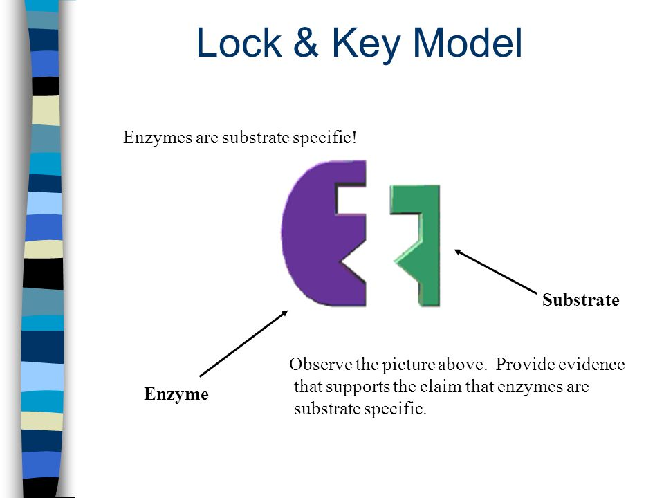 Lock & Key Model Enzymes are substrate specific! Substrate
