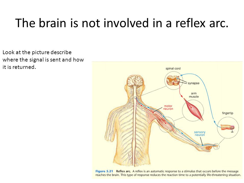 The brain is not involved in a reflex arc.