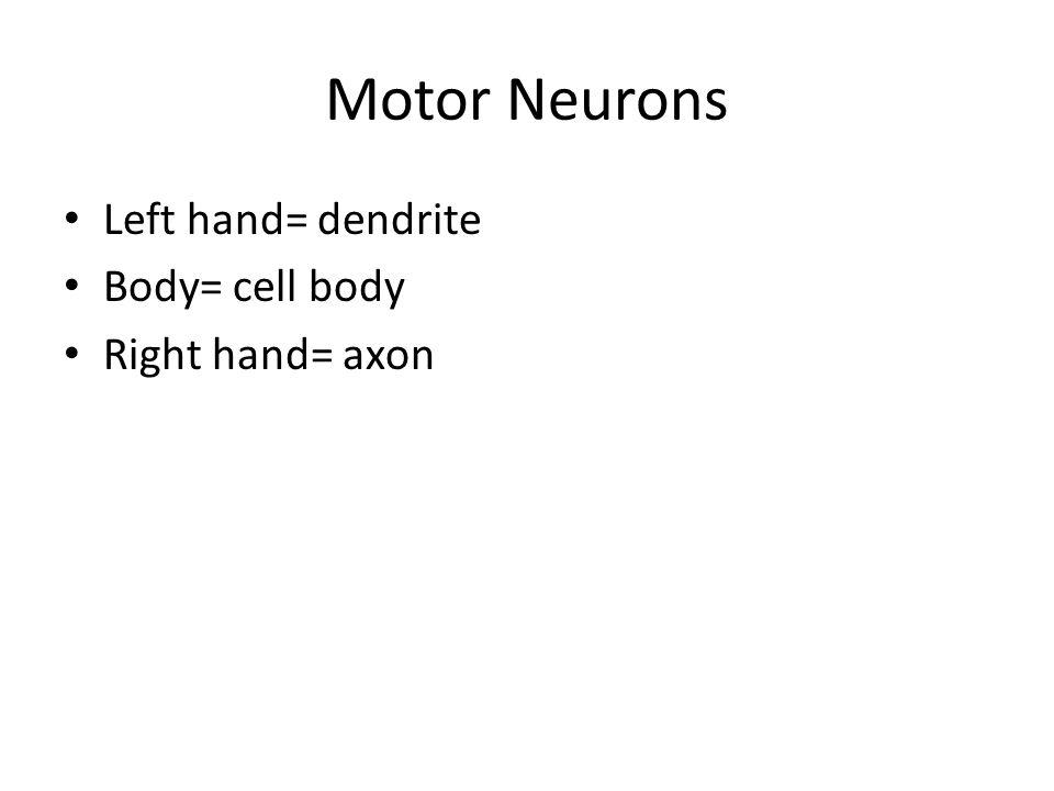 Motor Neurons Left hand= dendrite Body= cell body Right hand= axon