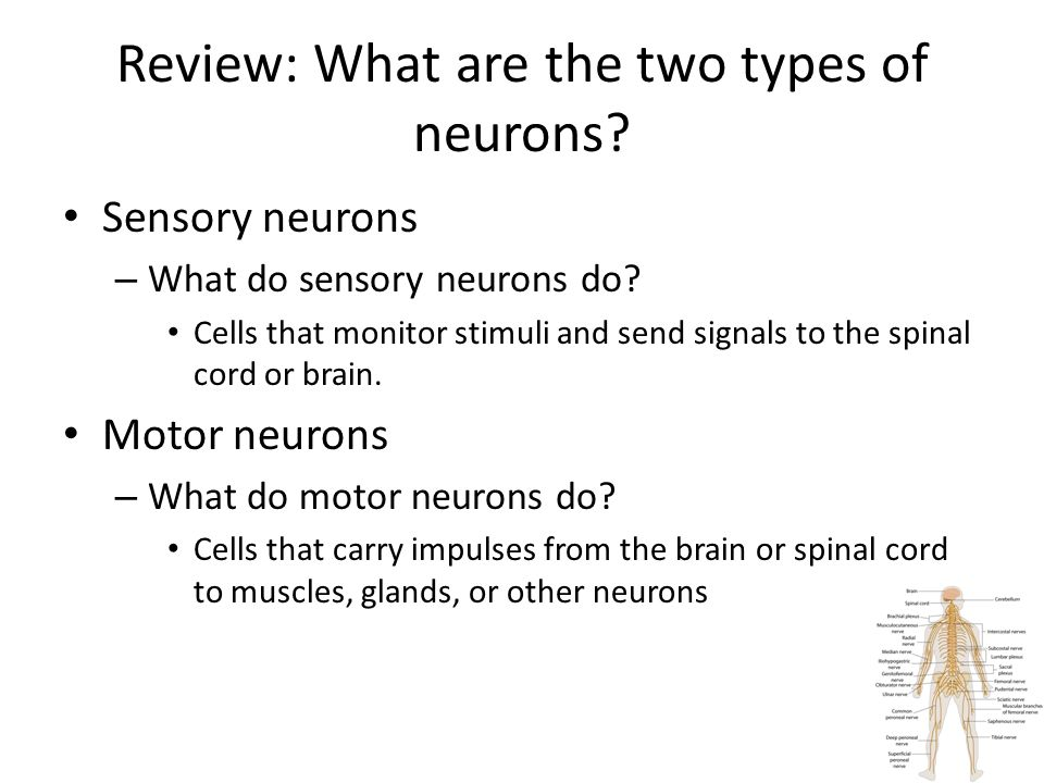 Review: What are the two types of neurons