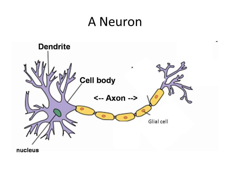 A Neuron Glial cell