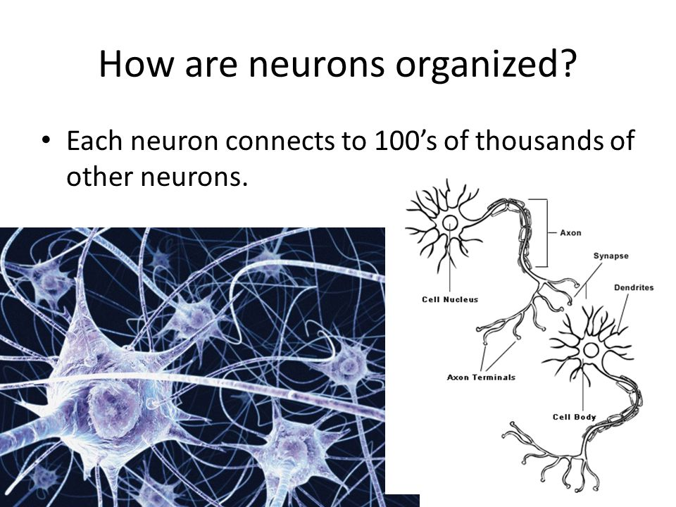 How are neurons organized