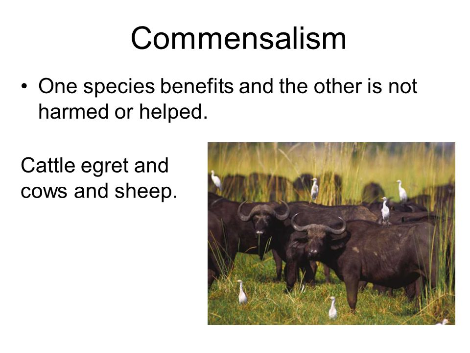 Commensalism One species benefits and the other is not harmed or helped.