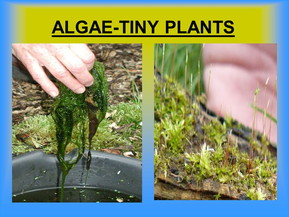 ALGAE-TINY PLANTS