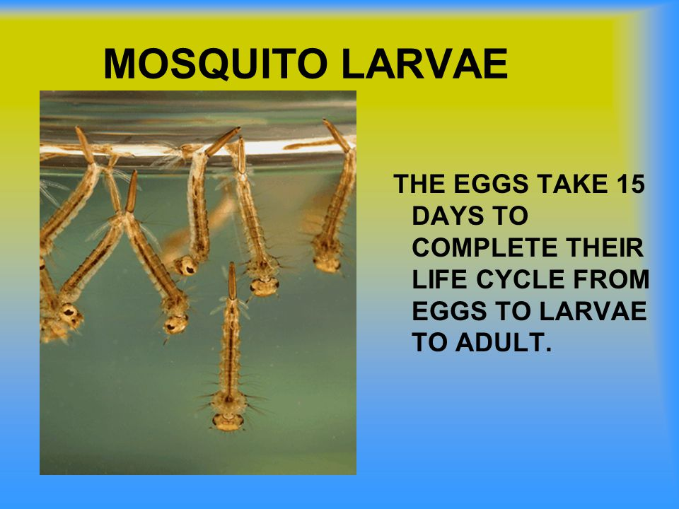MOSQUITO LARVAE THE EGGS TAKE 15 DAYS TO COMPLETE THEIR LIFE CYCLE FROM EGGS TO LARVAE TO ADULT.