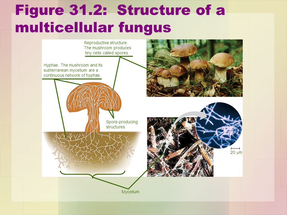 Figure 31.2: Structure of a multicellular fungus