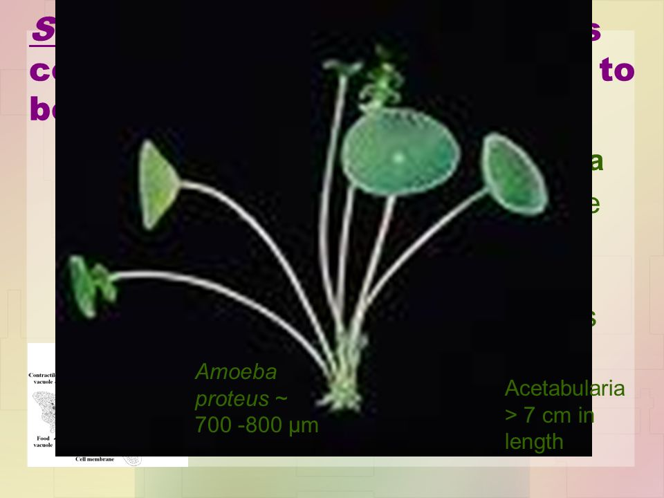 SOME (but not most!) biologists consider unicellular organisms to be acellular.