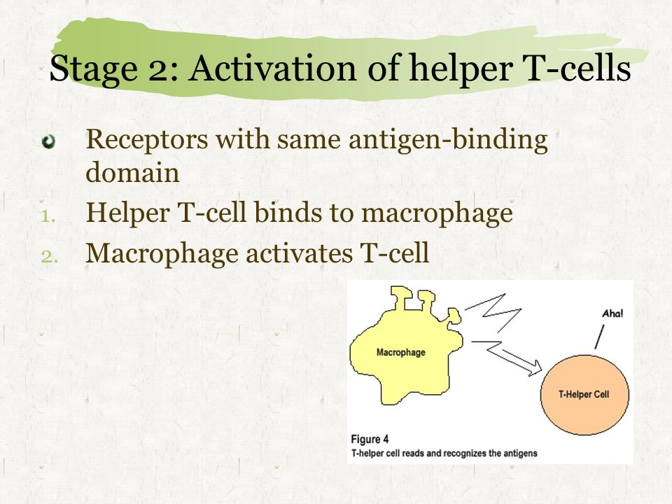 Stage 2: Activation of helper T-cells