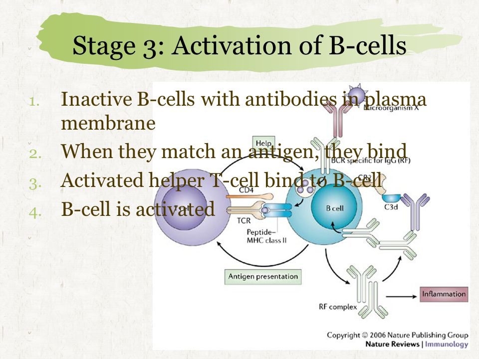 Stage 3: Activation of B-cells
