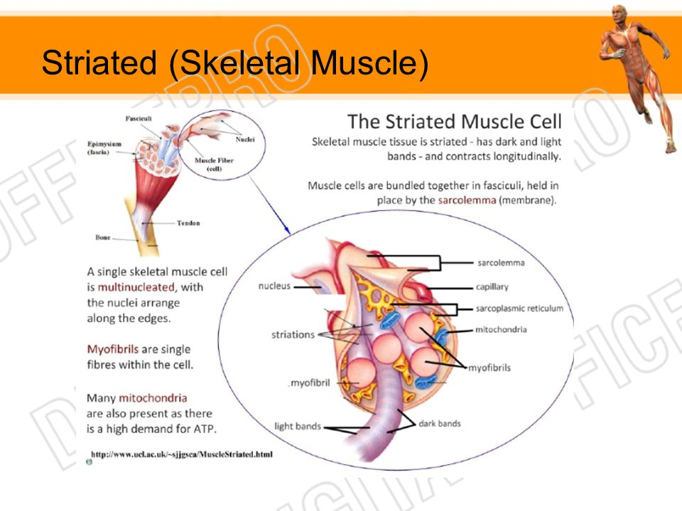 Striated (Skeletal Muscle)
