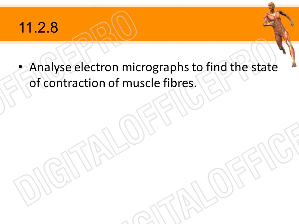 11.2.8 Analyse electron micrographs to find the state of contraction of muscle fibres.