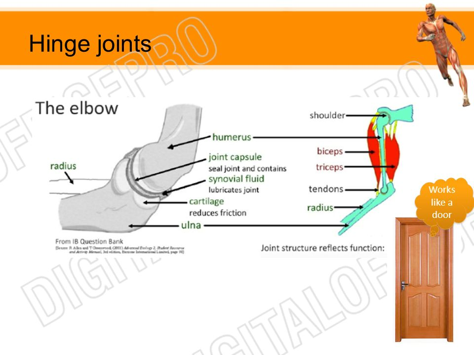Hinge joints Works like a door
