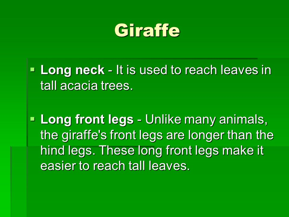 Giraffe Long neck - It is used to reach leaves in tall acacia trees.