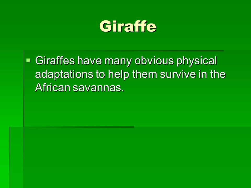 Giraffe Giraffes have many obvious physical adaptations to help them survive in the African savannas.