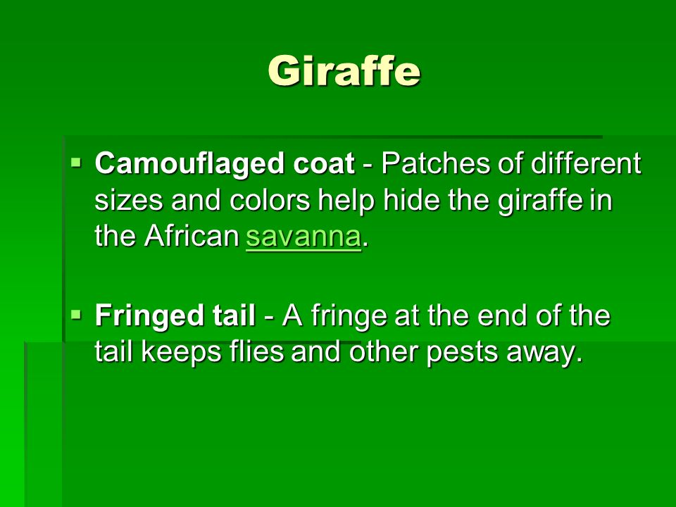 Giraffe Camouflaged coat - Patches of different sizes and colors help hide the giraffe in the African savanna.
