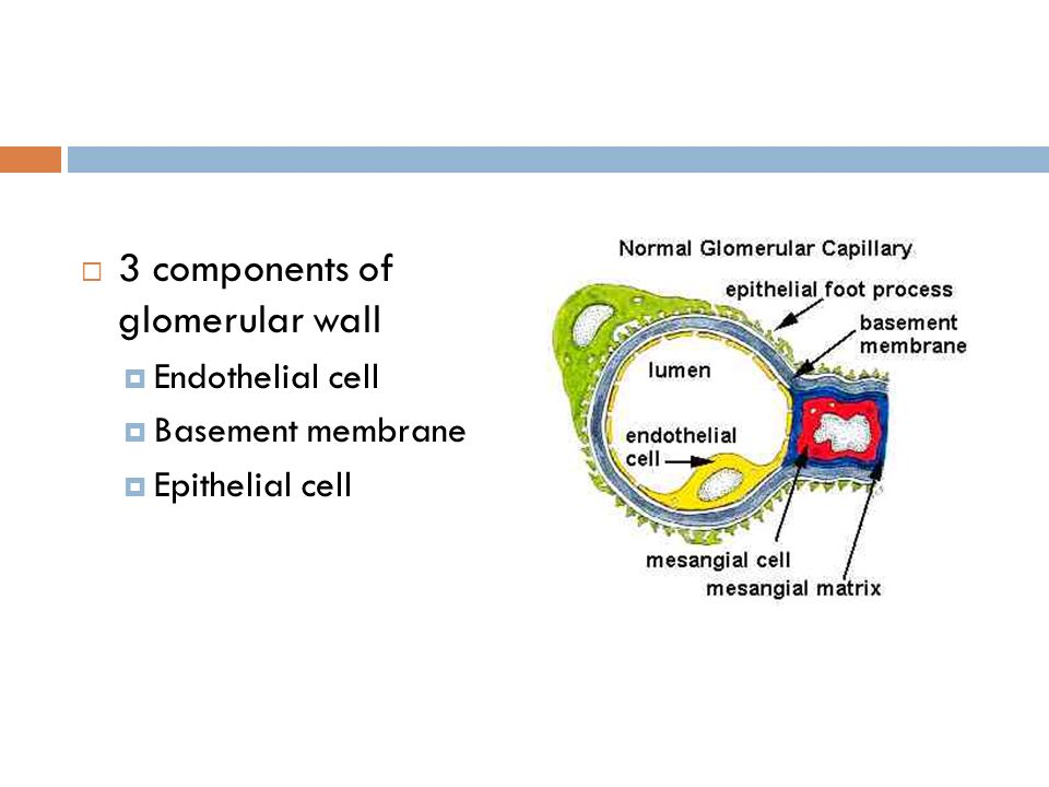 3 components of glomerular wall