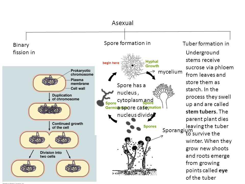 Asexual Spore formation in Tuber formation in Binary fission in
