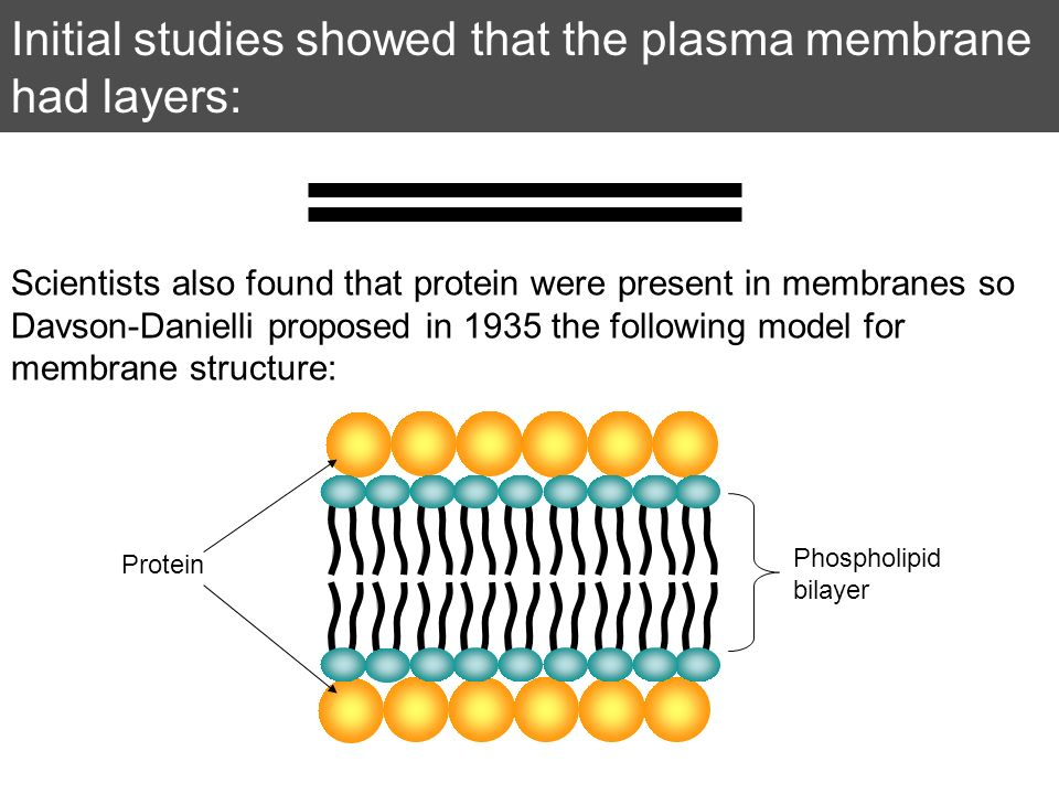 Initial studies showed that the plasma membrane had layers: