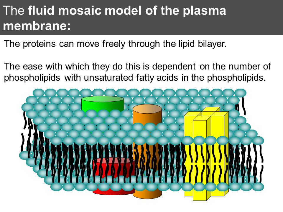 The fluid mosaic model of the plasma membrane: