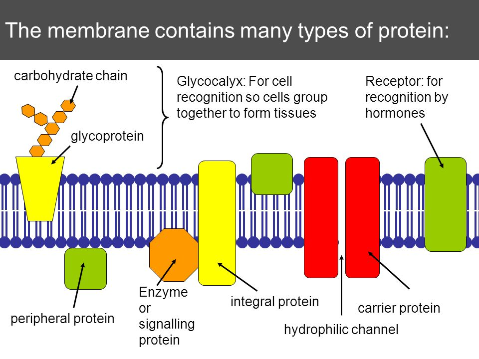 The membrane contains many types of protein: