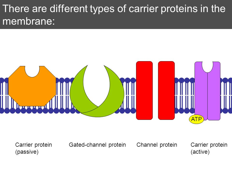 There are different types of carrier proteins in the membrane: