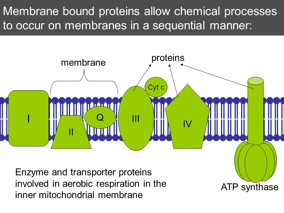 Membrane bound proteins allow chemical processes to occur on membranes in a sequential manner: