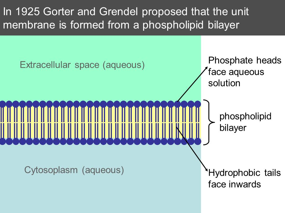 In 1925 Gorter and Grendel proposed that the unit membrane is formed from a phospholipid bilayer