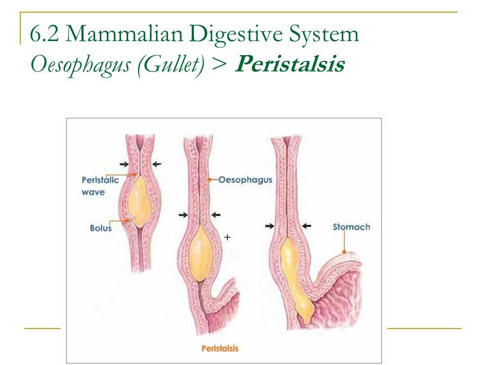 6.2 Mammalian Digestive System Oesophagus (Gullet) > Peristalsis