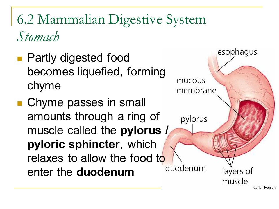 6.2 Mammalian Digestive System Stomach
