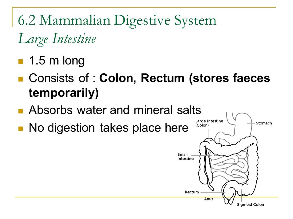 6.2 Mammalian Digestive System Large Intestine