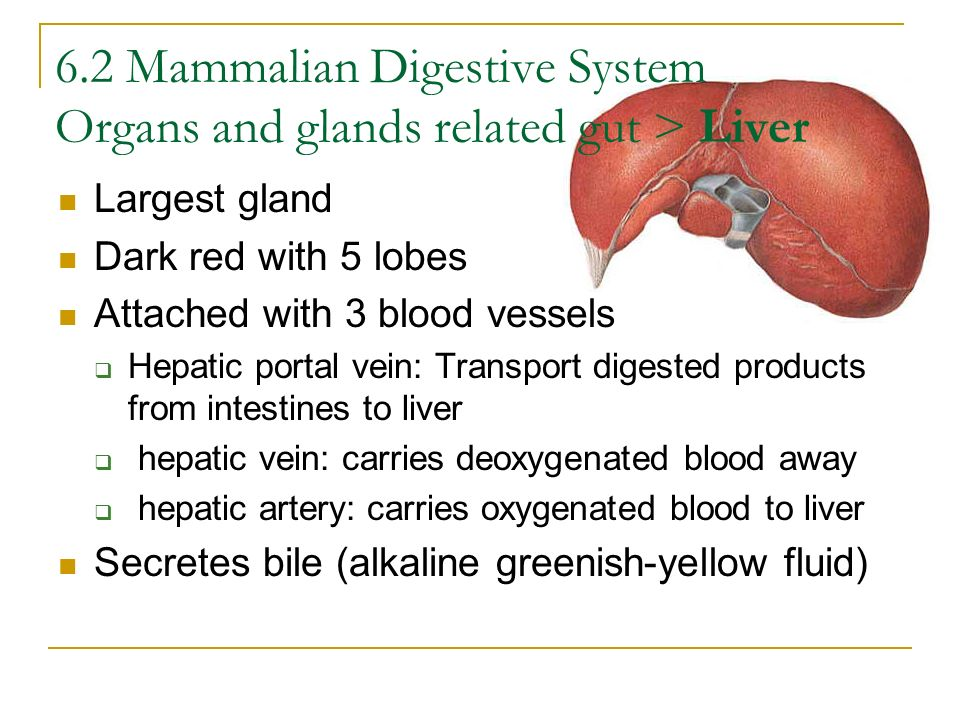 6.2 Mammalian Digestive System Organs and glands related gut > Liver
