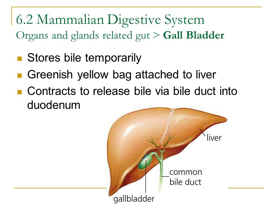 6.2 Mammalian Digestive System Organs and glands related gut > Gall Bladder