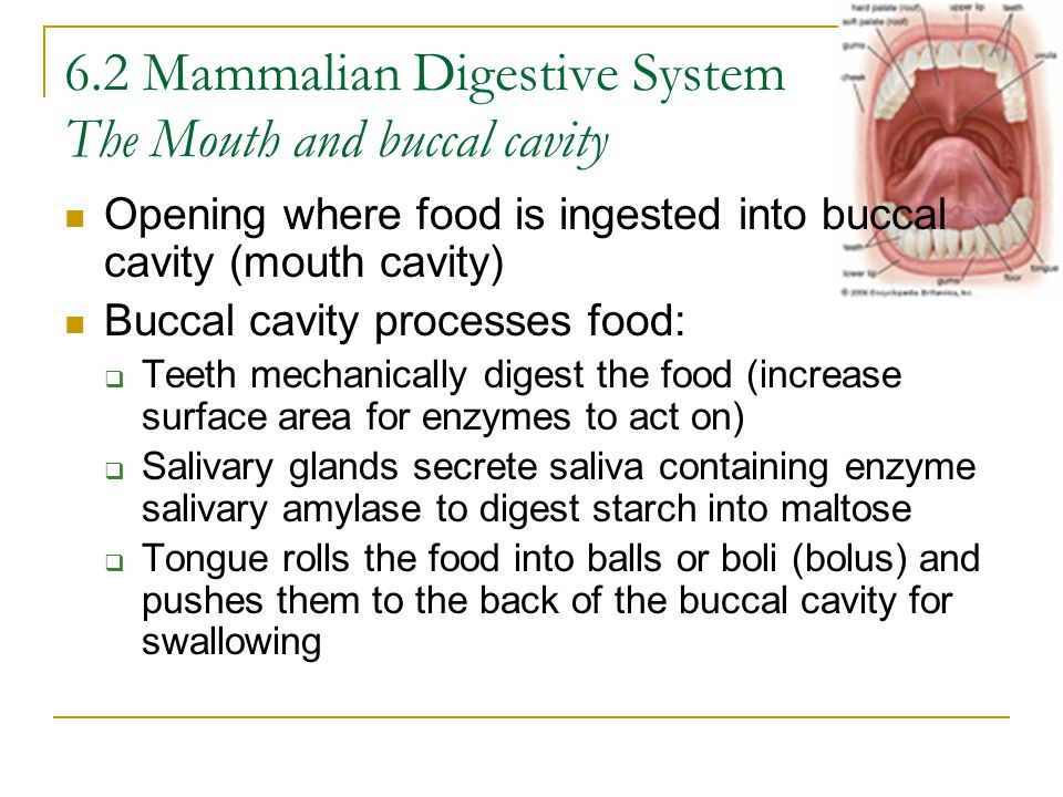 6.2 Mammalian Digestive System The Mouth and buccal cavity