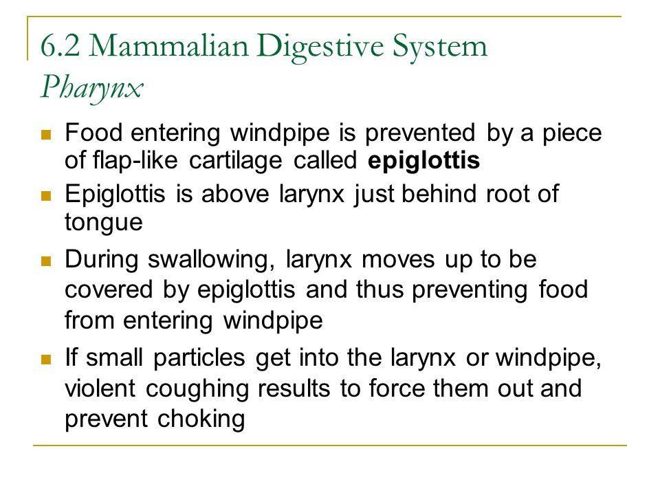 6.2 Mammalian Digestive System Pharynx