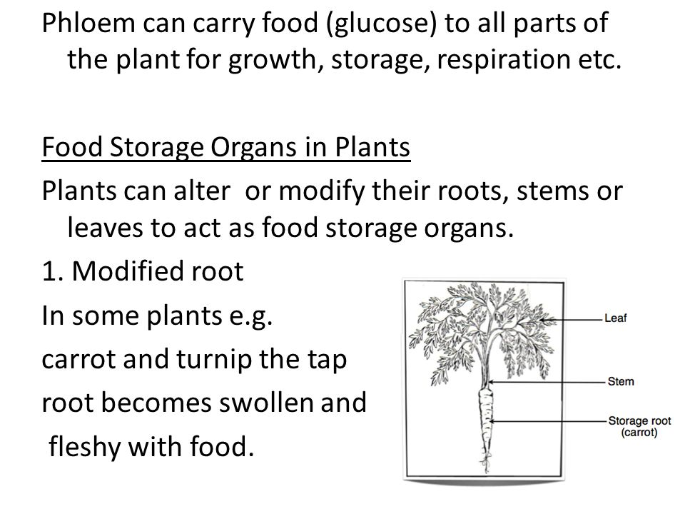 Phloem can carry food (glucose) to all parts of the plant for growth, storage, respiration etc.