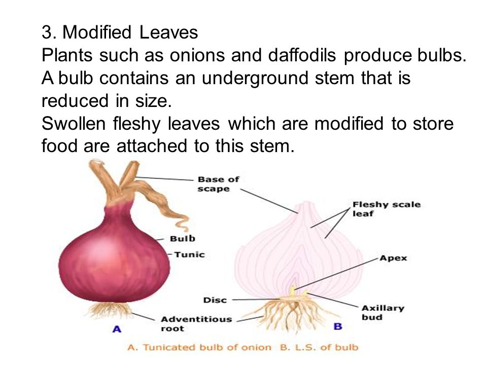 3. Modified LeavesPlants such as onions and daffodils produce bulbs. A bulb contains an underground stem that is reduced in size.