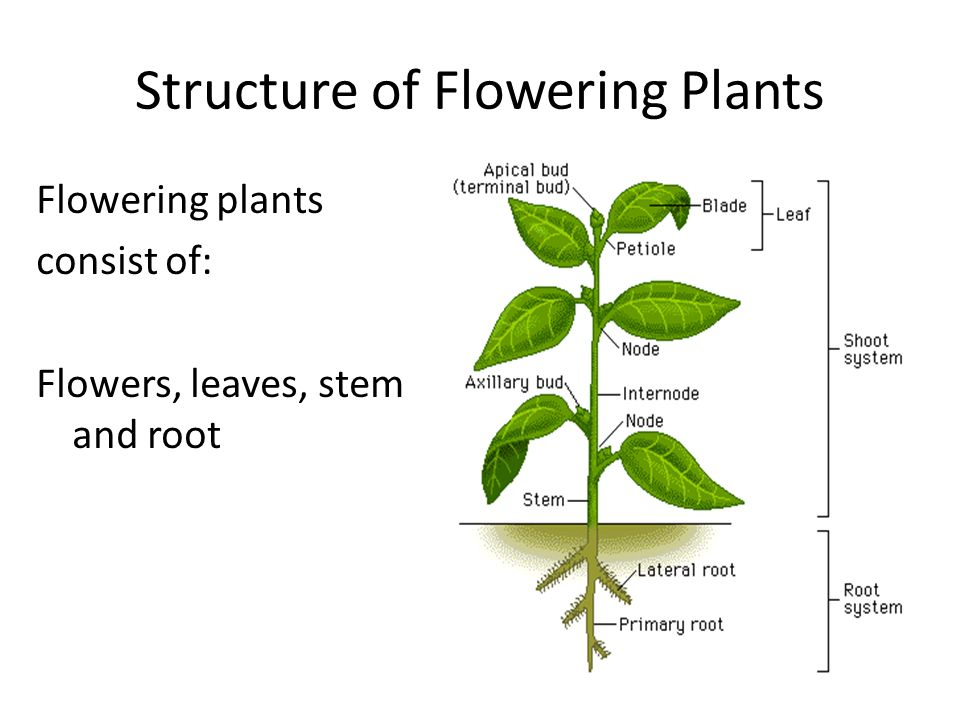 4 Structure Of Flowering Plants