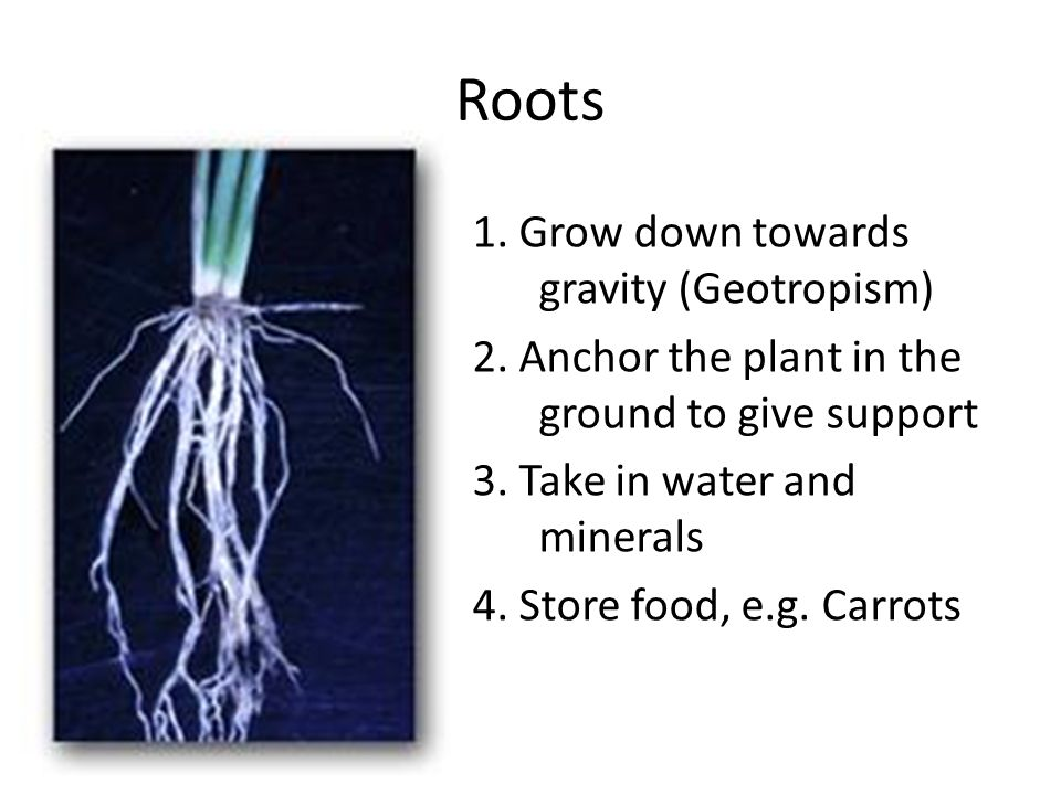 Roots 1. Grow down towards gravity (Geotropism)