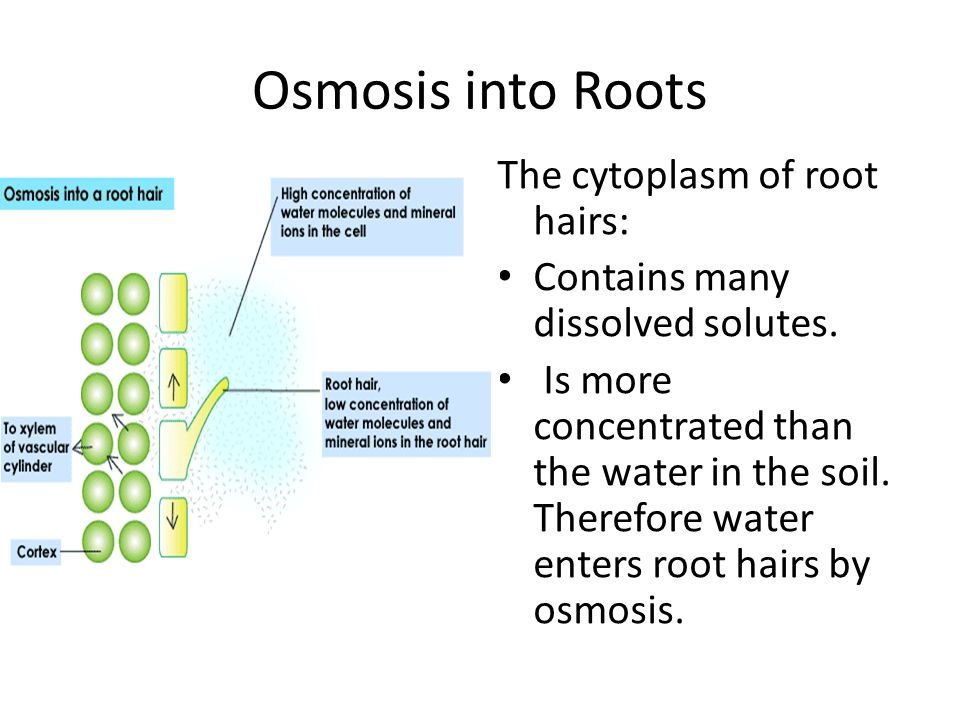 Osmosis into Roots The cytoplasm of root hairs: