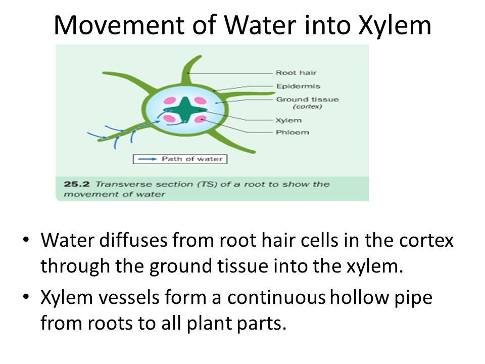 Movement of Water into Xylem