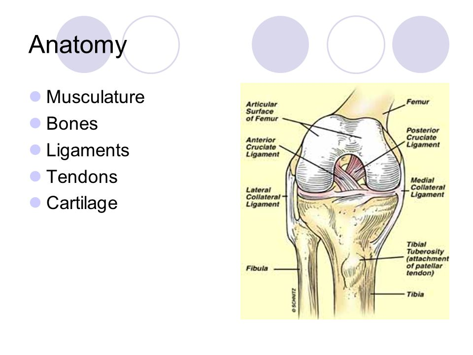 Anatomy Musculature Bones Ligaments Tendons Cartilage