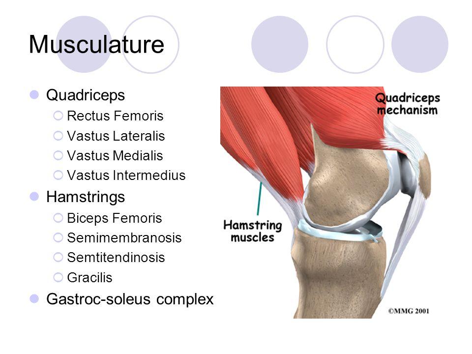 Musculature Quadriceps Hamstrings Gastroc-soleus complex
