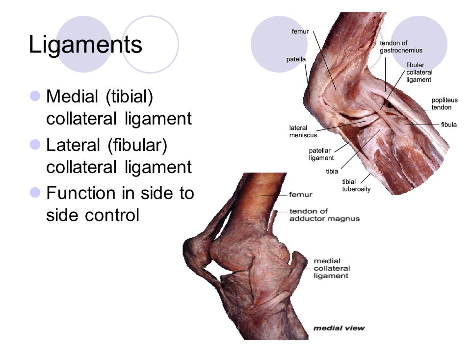 Ligaments Medial (tibial) collateral ligament