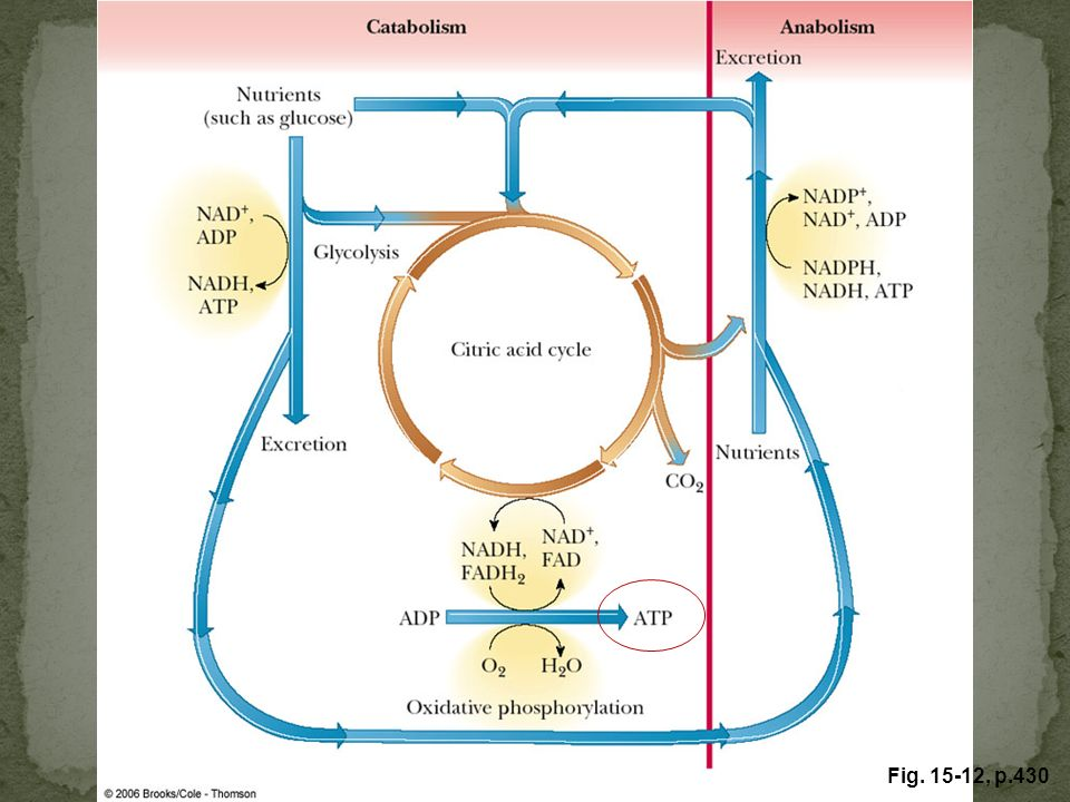 FIGURE 15.12 The role of electron transfer and ATP production in metabolism. NAD+, FAD, and ATP are constantly recycled.