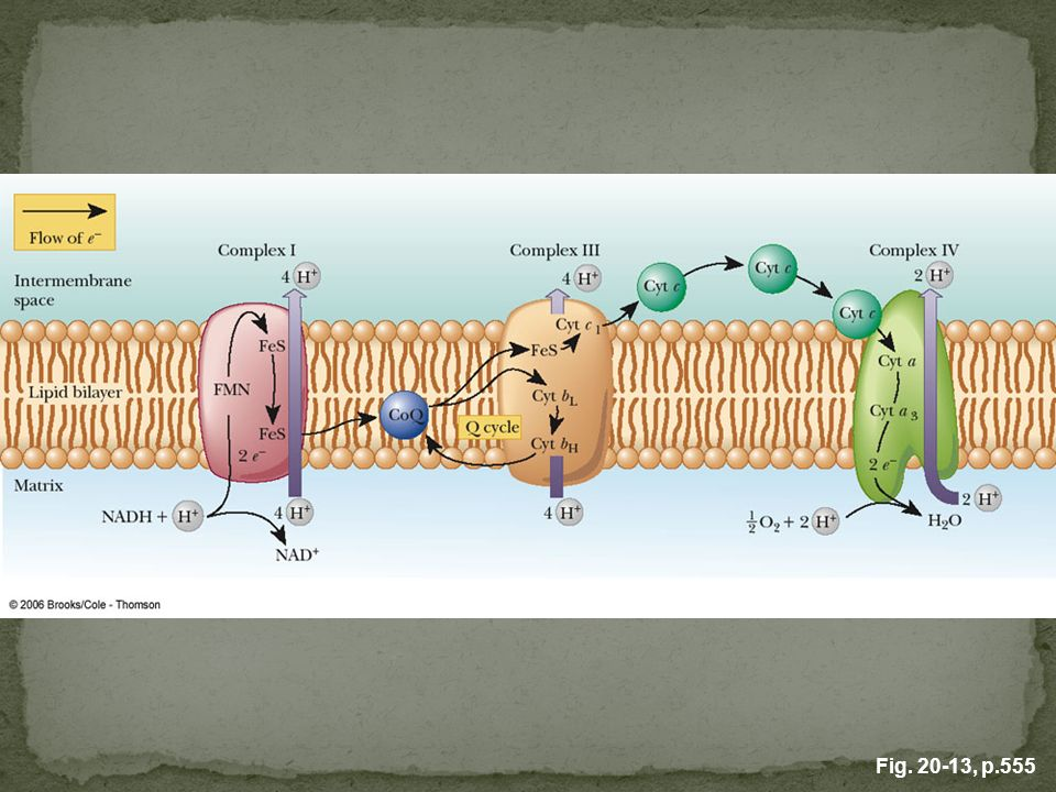 FIGURE 20.13 The creation of a proton gradient in chemiosmotic coupling. The overall effect of the electron transport reaction series is to move protons (H+) out of the matrix into the intermembrane space, creating a difference in pH across the membrane.