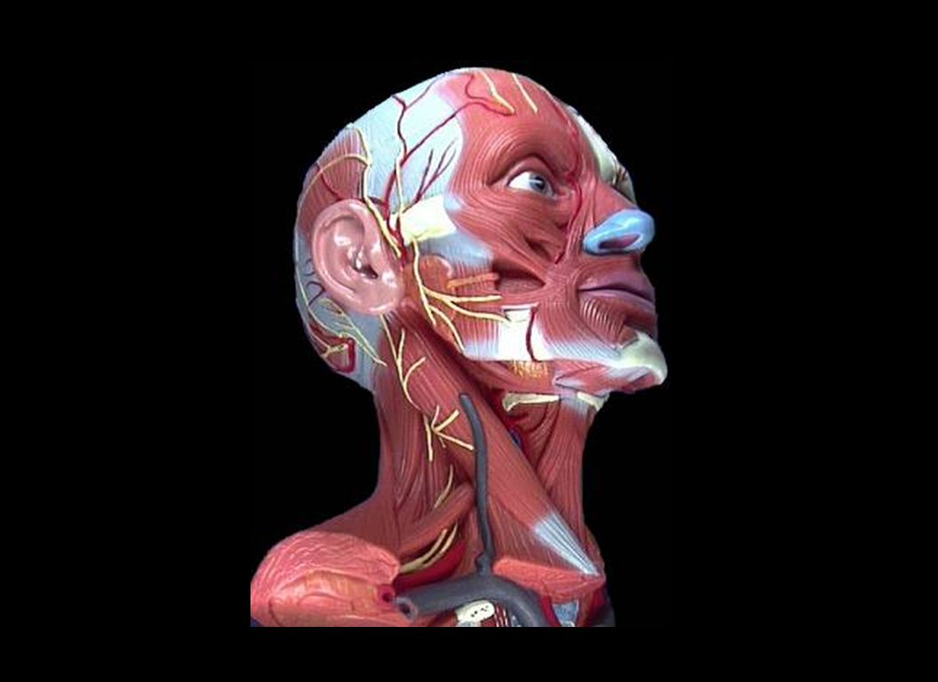 This slide shows the 68 pair of muscles above and below the mandible that determine the head, the neck, the shoulder and jaw posturization.