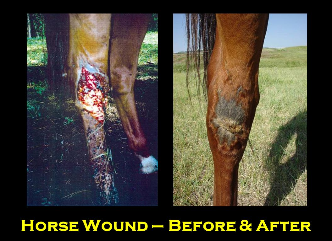 Horse Wound – Before & After